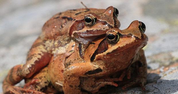 grenouilles rousses migration