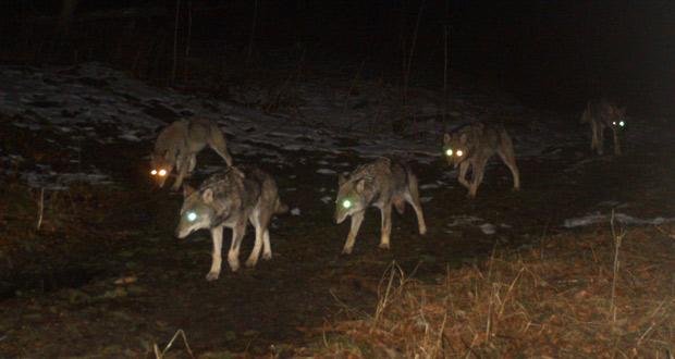 La meute de loups du Calanda