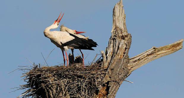 cigognes claquetant au nid
